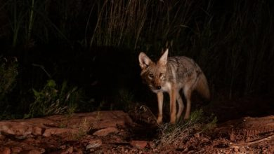 Coyotes pounce on a man who crashed an electric scooter into one of them on the banks of Stanley Park